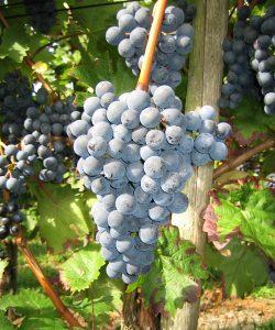 Ferienwohnung und Weingut Kappes Bernkastel-Kues - rote Trauben für Rotwein