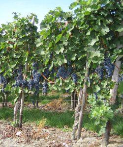 Ferienwohnung und Weingut Kappes Bernkastel-Kues - Rotweintrauben
