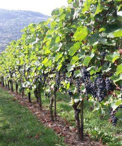 Ferienwohnung und Weingut Kappes Bernkastel-Kues - Rotwein Trauben